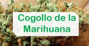 Qué es el cogollo de marihuana