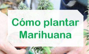 Formas de Plantar Marihuana