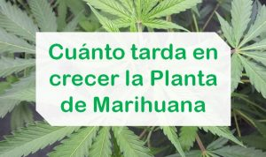 Timpo de crecimiento planta de Marihuana