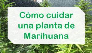 Cuidar planta marihuana