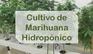 Pasos del cultivo Marihuana Hidropónico