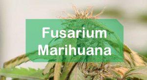 Tratamiento Fusarium Marihuana