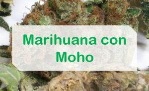 Moho marihuana