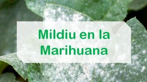 Combatir mildiu marihuana