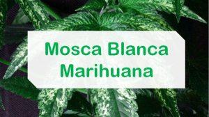 Mosca blanca en la marihuana
