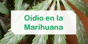 El Oidio en la marihuana