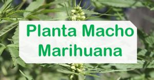 Planta macho de marihuana