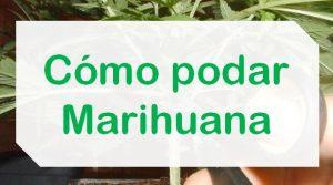 Formas de podar planta de Marihuana