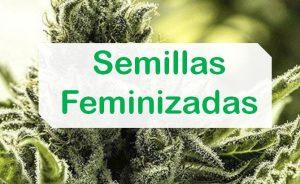 Semillas Feminizadas de marihuana